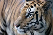 Ein Tiger in einem Zoo im indischen Bundesstaat Madhya Pradesh. (Bild: Sanjeev Gupta/EPA; 11. August 2018)