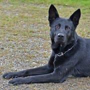 Führte die Einsatzkräfte zu den jungen Einbrechern: der vierjährige deutsche Schäferhund «Dodge». (Bild: Luzerner Polizei)