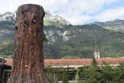 Der Stumpf des Mammutbaumes, der zu den zehn höchsten des Landes gehörte, wird langsam absterben. (Bild: Nadine Bantli)