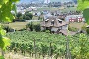 Gute Aussichten am Wiler Rebberg: Die Hitzewelle geht (fast) spurlos an den Weintrauben vorbei. (Bilder: Claudio Weder)