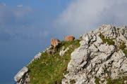Im 19. Jahrhundert waren Steinböcke in der Schweiz ausgerottet. Auf dem Pilatus setzten Wildhüter im Juni 1961 drei Steinböcke und drei Steingeissen aus Pontresina auf der Mattalp aus. (Bild: aho)