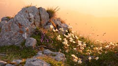 Der Natur ganz nah: Alpenflora im Sonnenuntergangslicht. (Bild: ar)