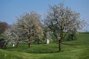 Die Luzerner Bauern erhalten für die Pflege ihrer knapp 300'000 Hochstammbäume pro Jahr 9,4 Millionen Franken. (Bild: Boris Bürgisser, 11. April 2017)