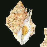 Meeresschnecke «Bufonaria borisbeckeri (Bild: PD)