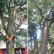 Der Baum ist am Stamm und an einem Ast, in rund drei Metern Höhe, verletzt. (Bild: PD/Rorschacher Echo)