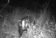 Während Füchse auch tagsüber aktiv sind, trifft man Dachse meistens erst in der Nacht an. (Bild: PD)
