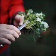 """David Krüger auf Kräutersuche im Wald: der Koch setzt bei """"Agefood"""" auf Zutaten die seit Jahrtausenden in der Natur vorzufinden sind. Stefan Kaiser (Neue ZZ)"""
