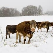 Kühe suchen auf einer verschneiten Wiese im Jura nach letzten grünen Grashalmen. (Bild: Jean-Christophe Bott/Keystone (Charbonniers, 28. Oktober 2018))