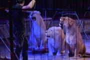 Schon vor drei Jahren reisten Löwinnen im Circus Royal mit durch die Schweiz mit Tourneestart in Weinfelden. (Bild: Mario Testa, 4.März 2016)