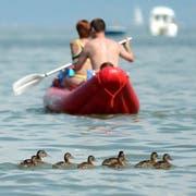 «Entenflöhe» werden von Wasservögeln übertragen und sind vor allem im seichten Wasser anzutreffen. (Symbolbild: Reto Martin/SGT)