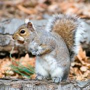 Ein Grauhörnchen mit einer Nuss im Maul.