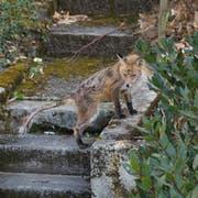 Dieser räudige Fuchs wurde Mitte März im Gebiet der Langensandstrasse Luzern gesichtet und fotografiert. (Bild: PD)