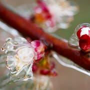 Für Zwetschgen, Chriesi und Aprikosen kann Frost verheerende Folgen haben. (Symbolbild: Keystone)