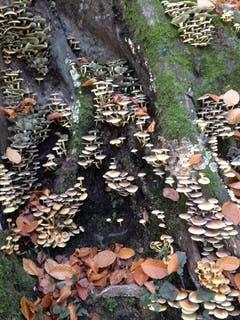 Baumstrunk übersät mit Pilzen. (Leserbild: Heidy Heller - 3. November 2017)