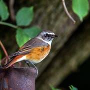 Der Gartenrotschwanz gehört zu den gefährdeten Vögeln. Am Werdenberger Binnenkanal in Burgerau konnte er vergangenes Jahr fotografiert werden. (Bild: Fredy Buchmann)