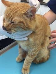 Am Kopf verletzt, entkräftet, mit Milben in den Ohren und ungechipt traf Bilo in der Tierarztpraxis ein. (Bild: PD)