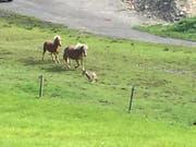 Kaum hatte der mutmassliche Wolf die Weide betreten, wurde er von den beiden Pferden fortgescheucht. (Bild: Jeannette Kuriger, Egg bei Einsiedeln, 16. September 2018)