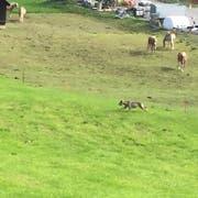 Nachdem das Tier vor den Pferden flüchtete, visierte es die Zwerggeissen an. (Bild: Jeannette Kuriger, Egg bei Einsiedeln, 16. September 2018)