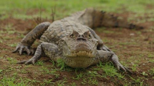 Kaimane werden oft mit Krokodilen verwechselt. Sie sind aber kleiner und weniger gefährlich. (Symbolbild) (Bild: Thomas Schlittler)
