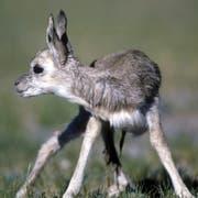 Die gefährdeten Antilopen leben in Tibet. (Bild: Keystone)