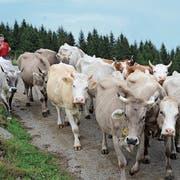 Die Kühe von der Alp Malbun müssen wegen Futtermangels bereits am Donnerstag ins Tal gebracht werden. Die Rinder dürfen aber noch bleiben. (Bild: Bianca Helbling)