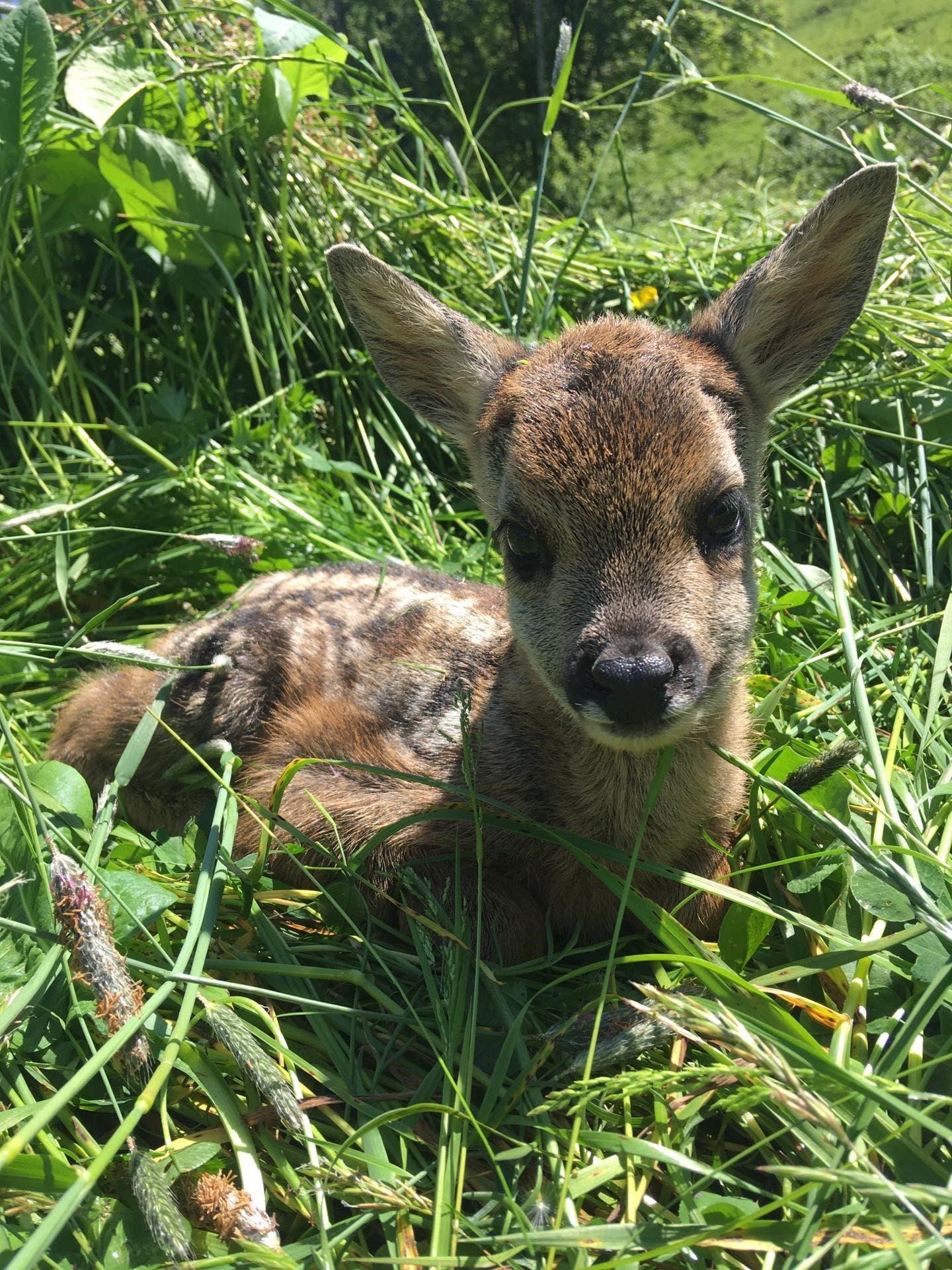Rehkitze sollen nicht mehr im hohen Gras vermäht werden und qualvoll sterben: St.Galler Jäger starten Crowdfunding-Aktion   St.Galler Tagblatt