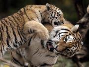 Ein Bild aus vergangenen Tagen: Amurtigerin Elena spielt im Zoo Zürich liebevoll mit einem ihrer Jungen. (Bild: Keystone/STEFFEN SCHMIDT)