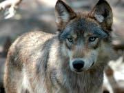 In Graubünden ist schon der zweite Jungwolf in felsigem Gelände abgestürzt - fast am gleichen Ort wie der erste. (Bild: KEYSTONE/AP/DAWN VILLELLA)