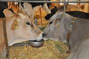 Kuh Olivia aus Kümmertshausen mit Minnesota aus der Surselva.