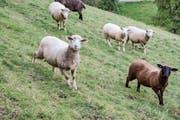 Hinterthurgauer Tiere, hier Schafe in Schurten, sollen künftig vermehrt im Tannzapfenland verarbeitet werden. (Bild: Olaf Kühne)
