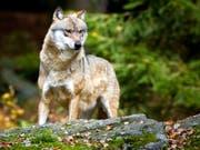 Das Bundesamt für Umwelt hält die Abschussverfügung für einen Wolf im Wallis für nicht gesetzeskonform. (Bild: Keystone/DPA ZB/PATRICK PLEUL)