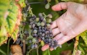 Von Mehltau befallene Trauben. (Bild: Keystone)