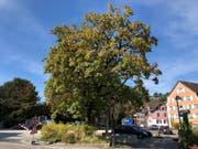 Der kränkelnde Spitzahorn muss einem jungen, gesunden Baum weichen. (Bild: PD)