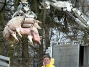 Belgien stuft die Gefahr vor der Afrikanischen Schweinepest herab. Das Landwirtschaftsministerium lockerte Massnahmen im Kampf gegen die Tierseuche. (Bild: KEYSTONE/AP/MICHAEL SOHN)