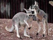 Meistens sind sie friedlich - in Australien wurden bei einem Känguru-Angriff jedoch drei Menschen verletzt. (Bild: KEYSTONE/AP/KAI-UWE KNOTH)