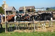 Rund 950 Tiere wurden auf dem Schauplatz bewertet. (Bild: Beat Lanzendorfer)