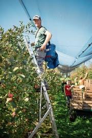 Die ganze Familie packt mit an, um die üppige Obsternte auf dem Baumgartnerhof in Hünenberg einzubringen. Vermarktet wird direkt über den eigenen Hofladen. (Bild: Maria Schmid (15. Oktober 2018))