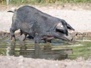 Eines der zwei schwarzen Alpenschweine vergnügt sich im Tierpark Goldau. (Bild: KEYSTONE/URS FLUEELER)