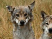 Eine Gen-Analyse soll Gewissheit bringen, ob in Graubünden ein zweites Wolfspaar Junge bekommen hat. (Bild: KEYSTONE/EPA/GUILLAUME HORCAJUELO)