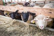 Die Tierhaltung im Herrenhofer Schafstall wird vom Veterinäramt untersucht. (Bild: Andrea Stalder)