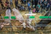 Besucher an der Tierschau der diesjährigen Olma. (Bild: Michel Canonica)