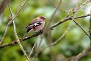 Der Buchfink gehört unter den Zugvögeln zu den häufigsten Arten. (Bild: Nana Do Carmo)
