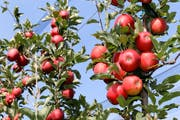 Pausbackige, knackig-rote Äpfel: Die Ernte 2018 ist gut. (Bild: Rudolf Hirtl)