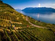 Weltweit wird mehr Wein hergestellt: Traubenernte im Kanton Waadt (Archivbild). (Bild: KEYSTONE/VALENTIN FLAURAUD)