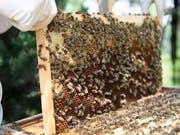 Waren Bienen mit einem für sie gesundheitsschädlichen Insektizid in Kontakt? Das ist für Imker oft erst zu erkennen, wenn es zu spät ist. Forschende arbeiten daher an einem Früherkennungstest. (Bild: KEYSTONE/LAURENT GILLIERON)