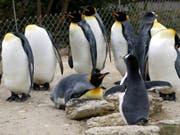 In Australien erleben zwei männliche Pinguine grosses Elternglück: Die beiden Eselspinguine Sphen und Magic brüteten ein Junges aus und geniessen ihren Rolle als Eltern in vollen Zügen, wie das Sea Life Aquarium in Sydney mitteilte. (Symbolbild mit Königspinguinen und einem Eselspinguin, vorne) (Bild: KEYSTONE/MARKUS STUECKLIN)