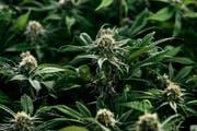 Cannabispflanzen. (Bild: Keystone/Christian Beutler)