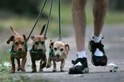Die St.Galler Regierung will die Anzahl Hunde pro Spaziergänger nun doch nicht begrenzen. (Bild: AP Photo/Amy Sancetta)