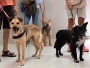 Die meisten dem Schweizer Tierschutz im vergangenen Jahr gemeldeten Tierschutzfälle betrafen die Haltung von Hunden. (Bild: KEYSTONE/GEORGIOS KEFALAS)