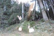 Im «Schneggenberg» mussten teils gebrochene, teils mit dem Wurzelteller geworfene Fichten auf verschiedene Höhen über Boden abgesägt werden, um die Waldstrasse wieder befahrbar zu machen. (Bild: pd)